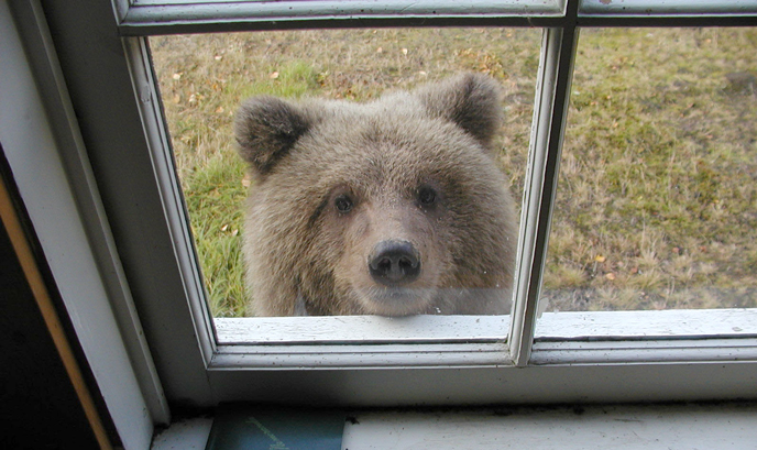 Image result for bear looking in window